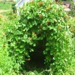 天然!緑の花豆トンネル。中は真夏でもヒンヤリ