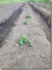 ジャガイモの芽2