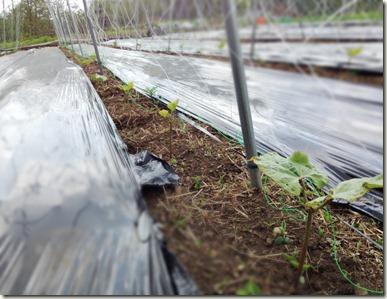 花豆の芽2