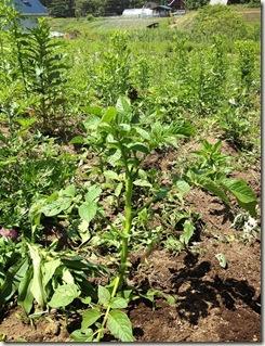 草むらの中で自力で育つ去年のジャガイモ