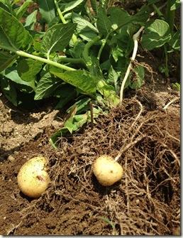 去年のジャガイモにすでに「小芋」がついています。