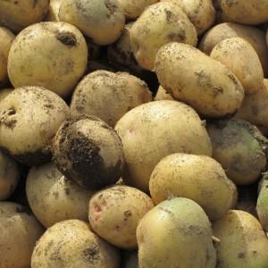 よっこらしょイベント『ジャガイモの収穫と朝穫り野菜カレー』で採れるジャガイモ